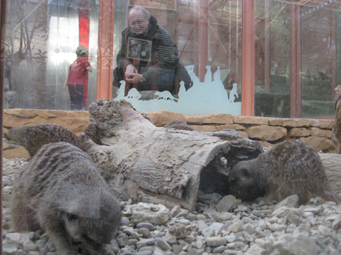 Comparing the meerkats